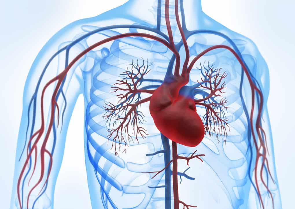 сърдечно-съдова система Biotica